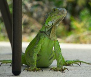 Natural Iguana Repellent