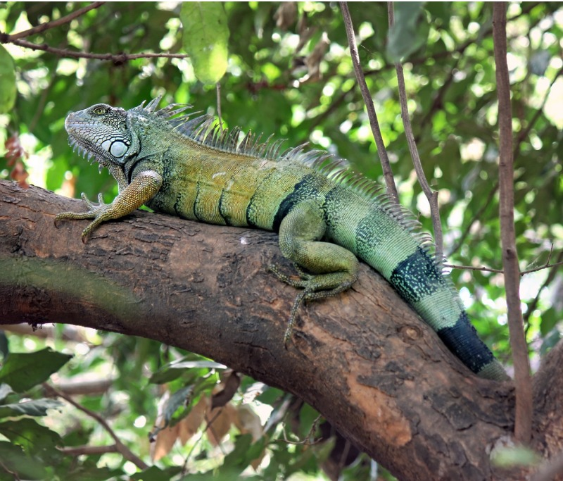 Natural Iguana Repellent